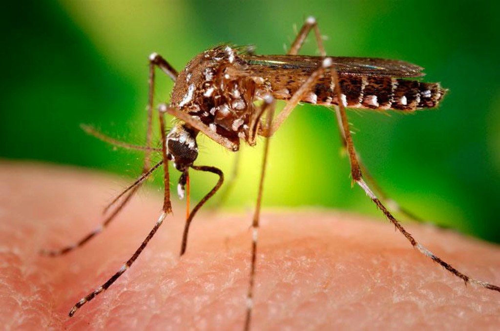 aedes-aegypti zika mosquito feature size